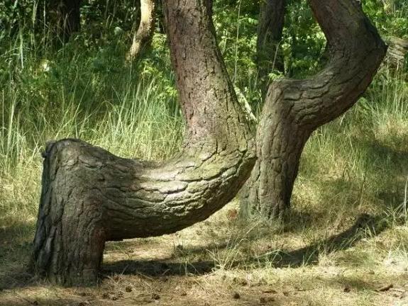 кривые деревья в кривом лесу Польши
