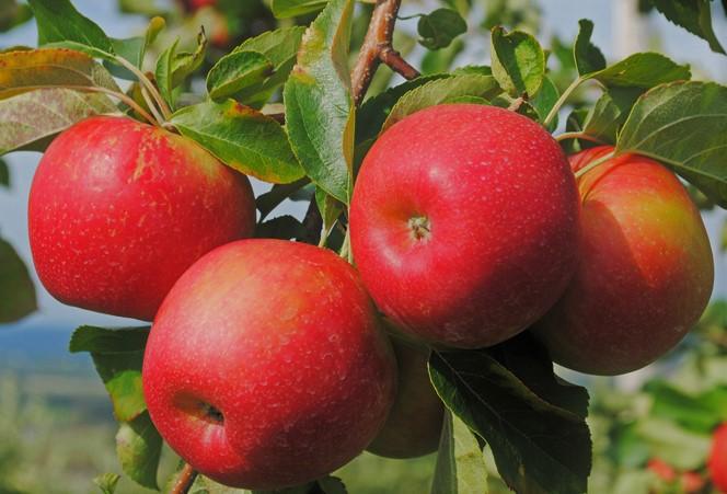 яблочко молодильное